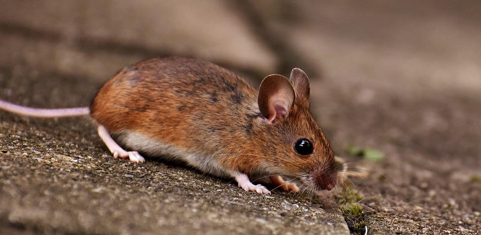 Une infestation de rats ne doit pas être ignorée?